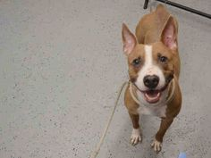 Manhattan Center BELLA – A1036590 SPAYED FEMALE, TAN / WHITE, AM PIT BULL TER / BULL TERRIER, 2 yrs OWNER SUR – ONHOLDHERE, HOLD FOR ID Reason TOO MANY P Intake condition EXAM REQ Intake Date 05/16/2015