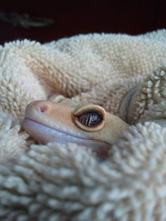 Leopard gecko in towel... I just want to cuddle!!