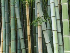 Bamboo Forest, Kyoto, Japan Photographic Print by Rob Tilley at AllPosters.com