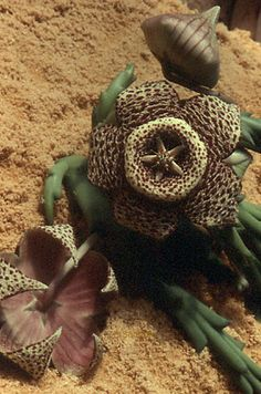 I used to have several plants in this species and the flowers are unusual and they often smell strangely like rotting meat, an adaptation to attract flies in a place with few other pollinators.  Stapelia variegata, or Star flower.