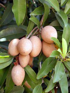Chikoos or sapodilla Trai Sa pu Che . Fruit And Veg, Fruits And Vegetables, Fresh Fruit, Fruit Plants, Fruit Trees, Mango Tree, Large Plants, Tropical Fruits, Fruit Art