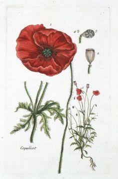 Vintage botanical drawing.