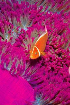Clownfish close-up