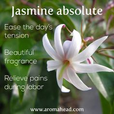Jasmine absolute helps ease the day's tension, has a beautiful fragrance and relieves pains during labor. Get started with Aromatherapy classes at Aromahead Institute:  http://www.aromahead.com/