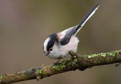 Vogels/Zang-Bosvogels/staartmees nieuwsgierig