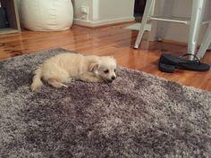 Puppies Tips, Shag Rug, Rugs, Home Decor, Shaggy Rug, Homemade Home Decor, Types Of Rugs, Carpet, Rug