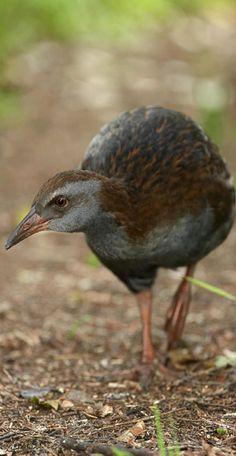Gallirallus Australis - Weka is one of New Zealand's iconic large flightless birds.