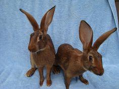 ~ Belgian Hare Rabbits ~