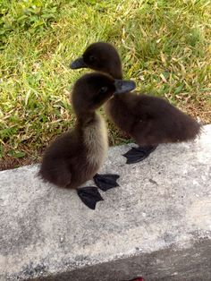 Cayuga Ducks pictures - Google Search