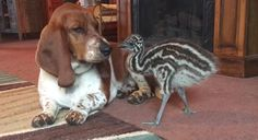 Hey You Deserve To Watch This Video Of A Baby Emu Playing With Some Bassett Hounds