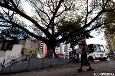 En riesgo árboles iconográficos que preservan historia de Caracas