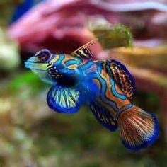 colorful sea fish - Bing Images Mandarin Fish (Synchiropus splendidus) in the SW Pacific