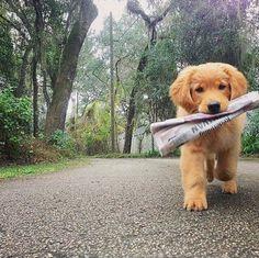 Perrito lleva el periódico