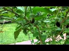 Its amazing, Brinjal plant grafted to devil plant and get plenty of brinjal for long period. view this video and try at your garden. Eggplant Plant, Growing Eggplant, Thai Eggplant, Wild Eggs, Planting Potatoes, Berry Plants, Plant Species, Native Plants, Permaculture