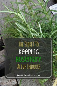 Green thumb, please. The Secret to Keeping Rosemary Alive Indoors: Keeping a rosemary plant alive in Diy Garden, Edible Garden, Garden Plants, Garden Landscaping, Cactus Plants, Air Plants, Garden Shrubs, Garden Shade, Potager Garden