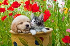 DOK 01 01 © Kimball Stock Golden Retriever Puppy And Tabby Kitten Sitting In Flower Pot In Garden Good Buddy, Great Pictures, Four Legged, Flower Pots, Flowers, Cuddling, Animal Pictures, Labrador Retriever, Dog Cat