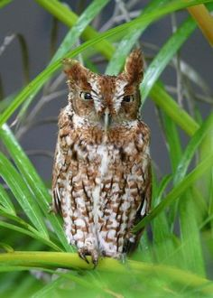 It's difficult to distinguish between Eastern and Western Screech Owl species by sight - location is your best bet. However, they have distinctive voices, which is undoubtedly more important for these birds that are active mainly at night.  (Photo by Roland Jordahl) Get more info about this bird at: birdsandblooms.com