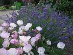 Lavender and Pink Evening Primrose