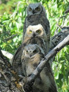3 Great horned owls                                                                                                                                                                                 More