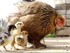 Brown chicken and chicks