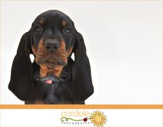 Coon Hound Photos | Pet Photography Boston