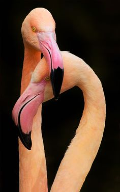 Sweet Love. Flamingo Couple.