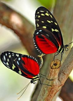 Longwing Heliconius Butterflies   majikphil.blogspot.com