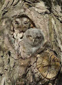 Screech Owl (gray phase) with an adorable owlet.