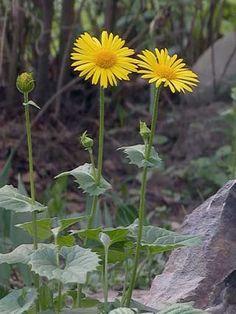 Kevätvuohenjuuri, Doronicum orientale - Kukkakasvit - LuontoPortti