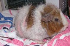 guinea-pig-uyuz-hastaligi