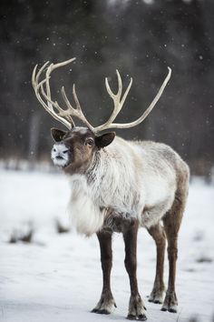Reindeer are classed as Cervidae. Cervidae encompasses many species that have antlers, such as deer, elk, and moose Arctic Animals, Forest Animals, Baby Animals, Cute Animals, Amazing Animals, Animals Beautiful, Caribou Hunting, Animals Tattoo, Moose