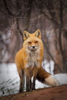 A stunning gallery of jaw dropping shots! | Vixen Fox by bkcrossman - Monthly Pro Vol 24 Photo Contest