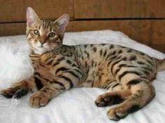 Tonkinese vs Bengal vs Cheetoh - Cats Comparison
