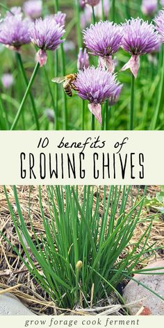 are a wonderful culinary herb, but they also have many other benefits in the garden and in the kitchen. Learn about ten different benefits of growing chives and why you should have them in your herb garden! herb garden ideas 10 Benefits of Growing Chives Container Gardening, Plants, Herbs, Diy Herb Garden, Gardening Tips, Organic Gardening, Chives, Growing Chives, Chives Plant