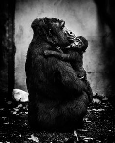 Gorgeous Photos That Show How Primates Express Emotions #photography #photo http://www.slate.com/blogs/behold/2016/07/21/pawel_bogumil_s_inhuman_is_a_look_at_the_emotions_primates_express.html