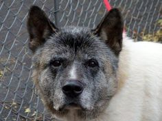 SAFE !  11/18/13  Manhattan Ctr  BRUNO  #A0984921  Male tricolor Akita Mix?  9 YRS OWNER SUR 11/13/13  SENIOR!!! Bruno walks well on leash, nice pace. Likely house trained. Remains calm & close meeting dogs. Ironically, Bruno was quite fearful & defensive for behavior exam.  Owned by the same family most of his life, known to be friendly to children & dogs.  Reserved but sociable,Bruno does not belong to a kennel. He is a noble dog who deserves a family of his own where he can feel safe!