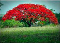 FLAMBOYANT. Albero diffuso nel Madagascar occindentale e in America centrale. Può superare i quindici metri di altezza, con rami allargati con foglie bipennate si contraddistingue per l'abbondante e spettacolare fioritura rosso-arancio. Il suo habitat sono le foreste tropicali, la savana.  È una specie a rischio in Africa per la perdita dell'habitat e per la vicinanza di industrie carbonifere.
