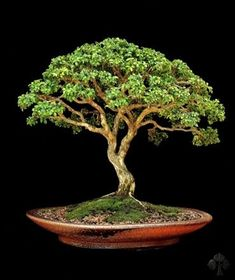 boxwood bonsai | Buxus (Kingsville Boxwood) (Image copyright; Michael Persiano's ...
