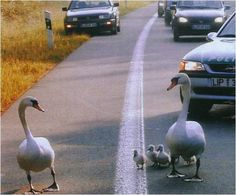 You crazy old Gander ...You never stop to ask for directions, this is Swan Street not Swan Lake.