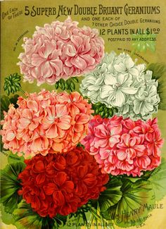 Maule's seed catalogue : 1894. vintage printable