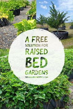Are you longing to have a successful and somewhat inexpensive garden? Why not plant in raised containers, made from tires? And, no, they're not toxic. | The Organic Prepper #garden #containergardens #urbanfarm #tiregardens Raised Garden Beds, Raised Beds, Used Tires, Gardening Magazines, Drip Irrigation, Clay Soil, Weed Control, Urban Farming, Fruit Trees