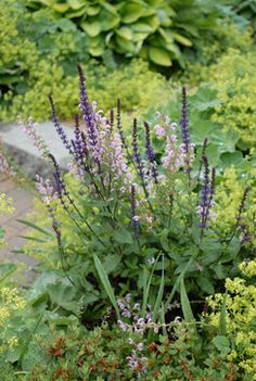 Salvia and Lady's Mantle