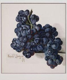 Leopold Zinnögger (Austrian, 1811-1872) - Watercolour study of grapes, 1847