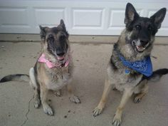 """BEYOND URGENT!! ON CRAIGSLIST!!! CO, Fort Lupton """"Ana & Gus"""" Bonded Senior GSD's Ana is Age Related Vision and Hearing Diminished **PLEASE HELP**  UPDATE 8/15 - Both are still in urgent need of rescue, both still on Craigslist, free to a good home!!! Please share with all your contacts one more time!!! And someone please step up and save these two beautiful seniors. The Contacts are looking for a foster, adopter or rescue by the end of the month at the latest!!!  Contact: Tiara or Steve at…"""