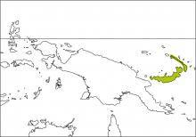 Bismarck Fantail (Rhipidura dahli)
