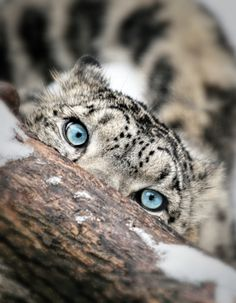 Endangered snow leopard ~ related more closely to the tiger than the leopard. inquisitive, intelligent giant.