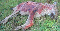 Un jeune loup tué dans les Hautes-Alpes