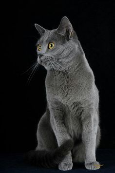 Chartreux cat named Pedro ஐ Catsmagic ஐ