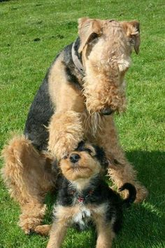 *Airedale* what a sweet picture❤️