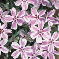 Phlox Candy Stripe Starter Plant £2.50